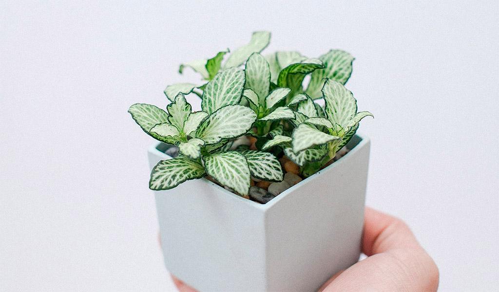 Cây Cẩm Nhung, lá may mắn thích hợp trồng trong văn phòng