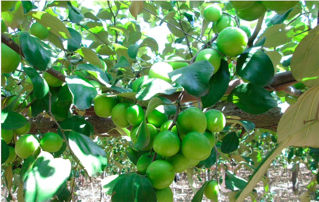 Táo xanh, đặc sản tỉnh Ninh Thuận rất thu hút