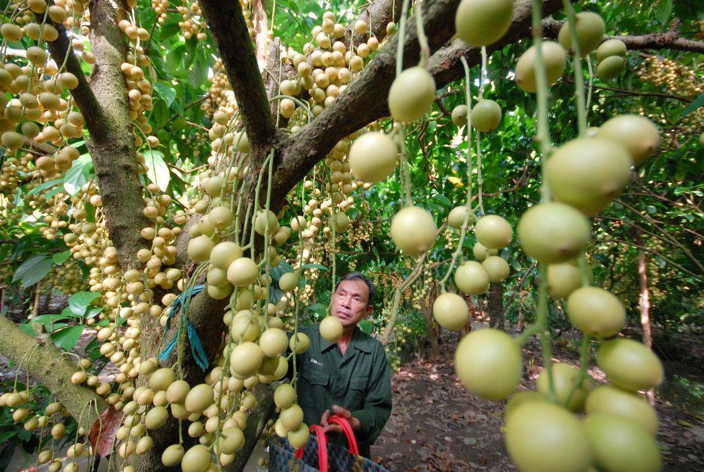 Khám phá miệt vườn trái cây tại Bến Tre