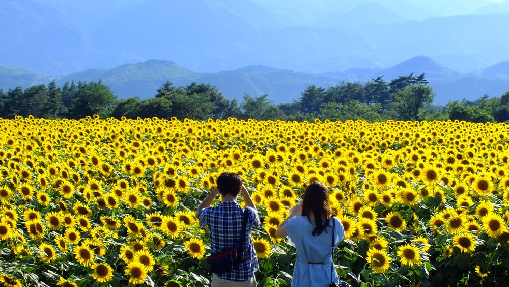 Cánh đồng hoa khoe sắc là điểm du lịch Nghệ An thu hút lượng khách lớn mỗi năm.
