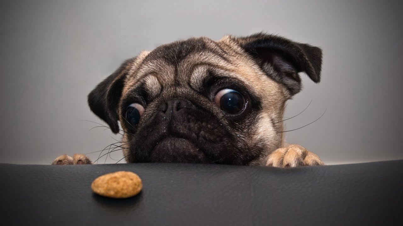 Chó pug - chó mặt xệ