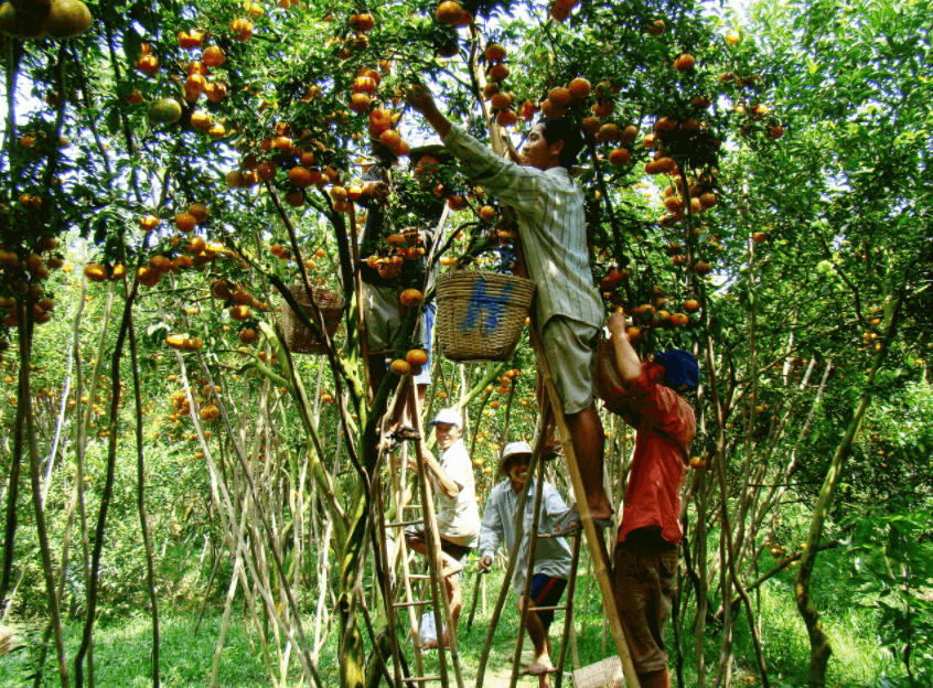 Miệt vườn Cái Mơn - xứ sở cây lành trái ngọt