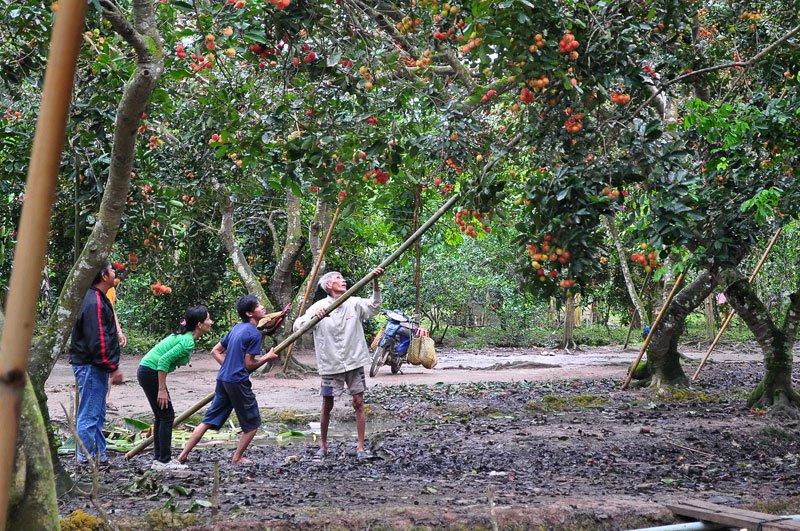 Vườn trái cây Cù Lao, An Bình nổi tiếng là thiên đường du lịch