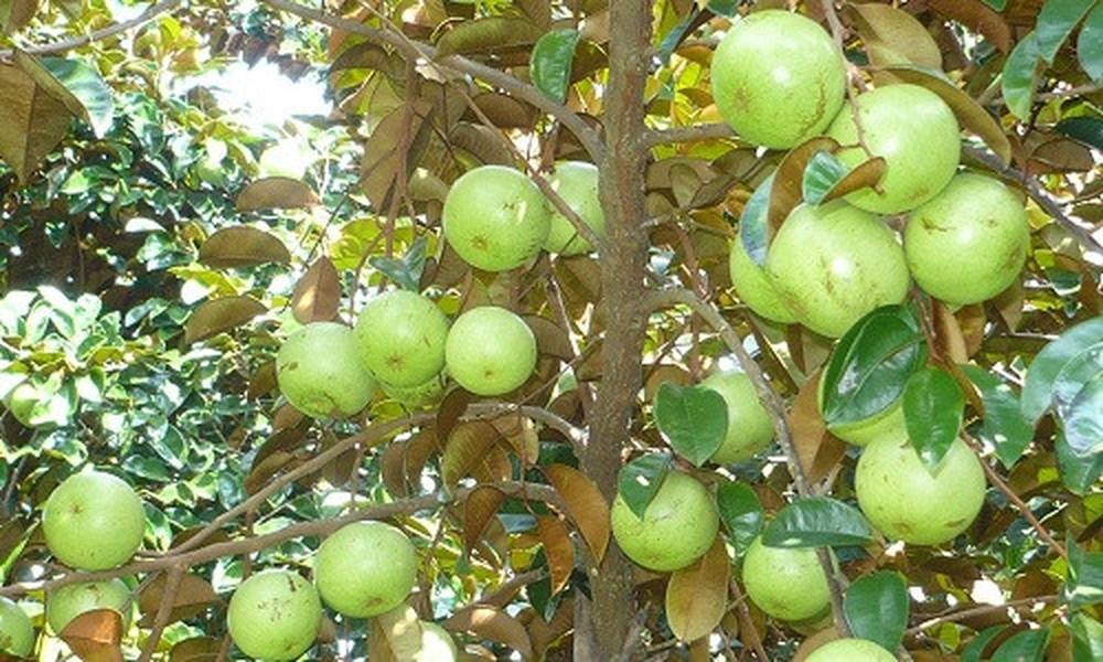 Vườn trái cây vú sữa trĩu quả tại Vĩnh Kim, Tiền Giang