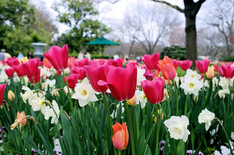 Tulip mang một vẻ đẹp nhẹ nhàng, thanh thoát. Một tình yêu hoàn mỹ