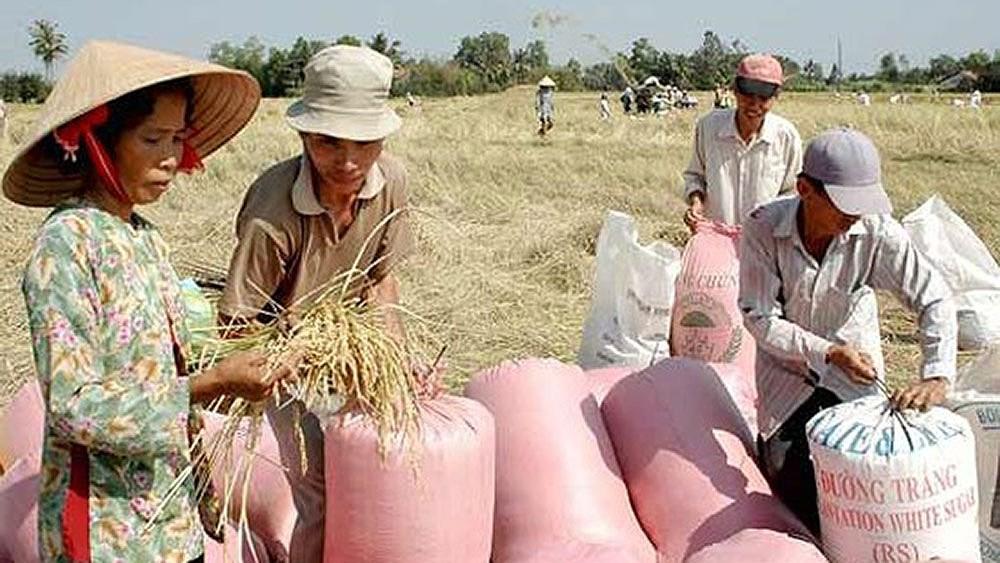 Gạo nàng Thơm chợ Đào nổi tiếng khắp vùng