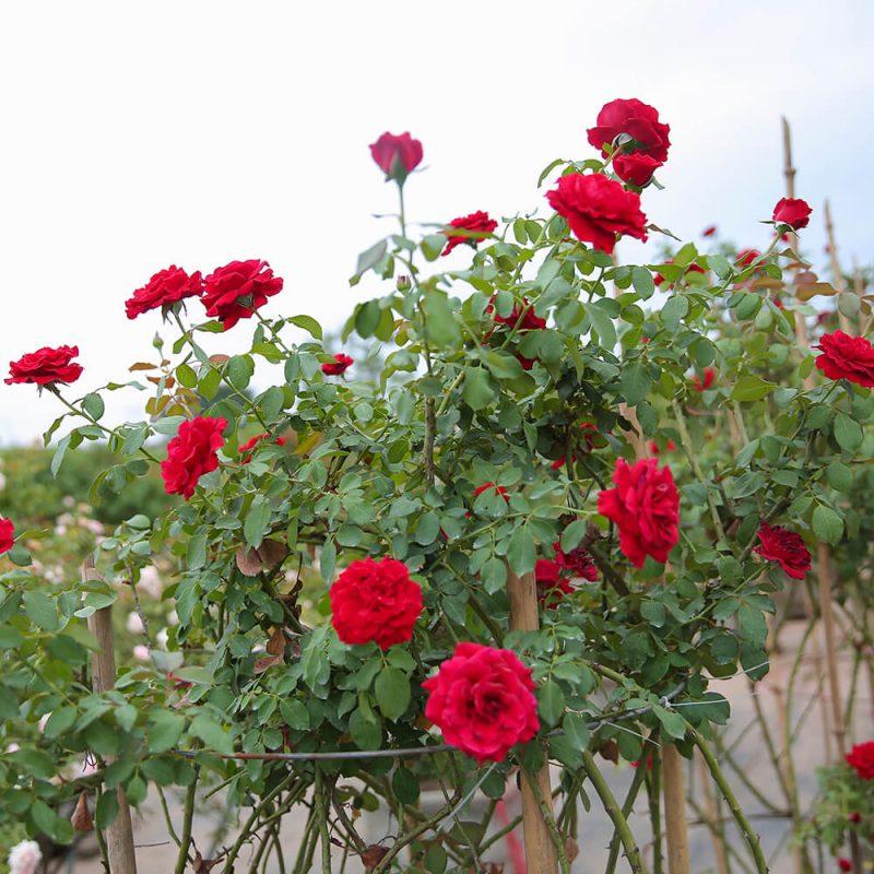 Hoa hồng đỏ thể hiện tình yêu sâu đậm, nồng cháy