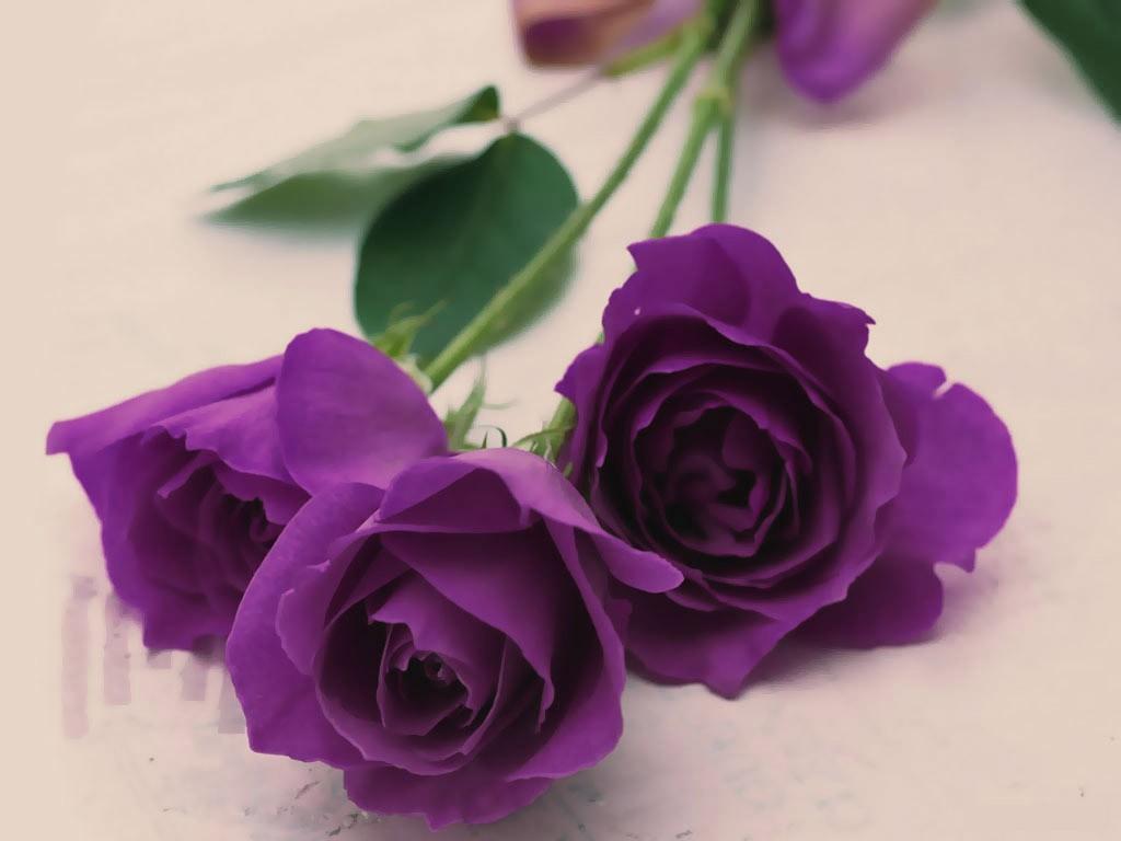 Hoa hồng tím biểu trưng sự si mê