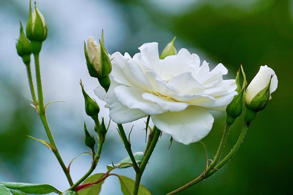 Hoa hồng trắng được nhiều người yêu thích
