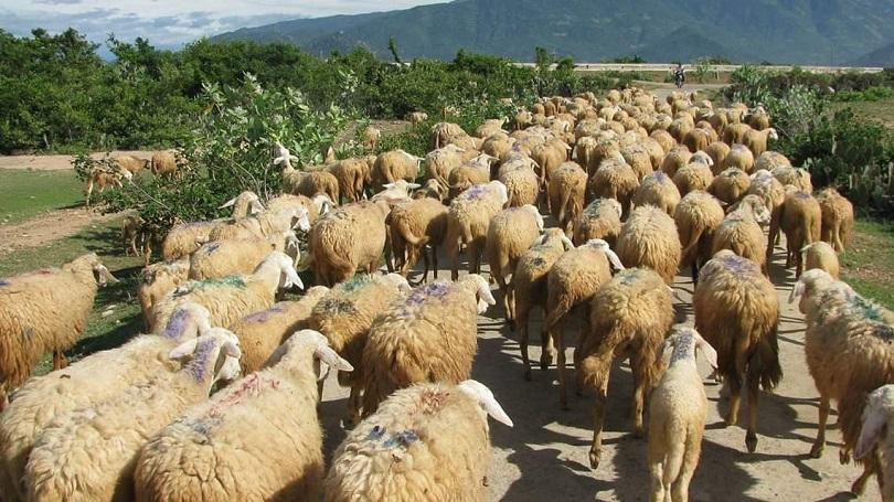 Tại Úc có nhiều cừu nhưng không thể sánh bằng Falkland Islands (Anh)