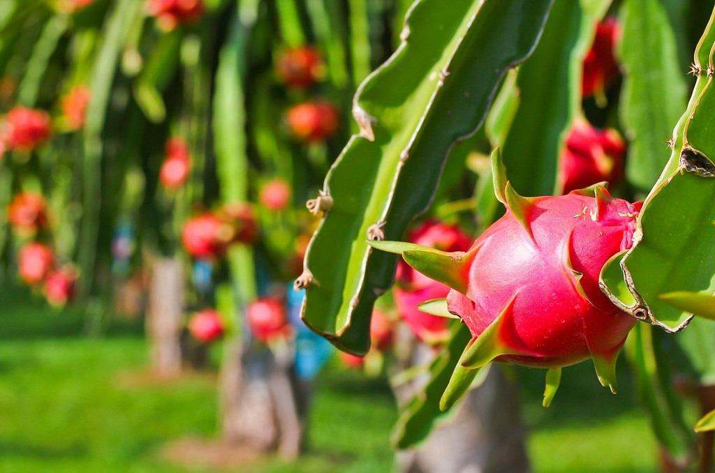 Thanh long – vua trái cây tại Long An