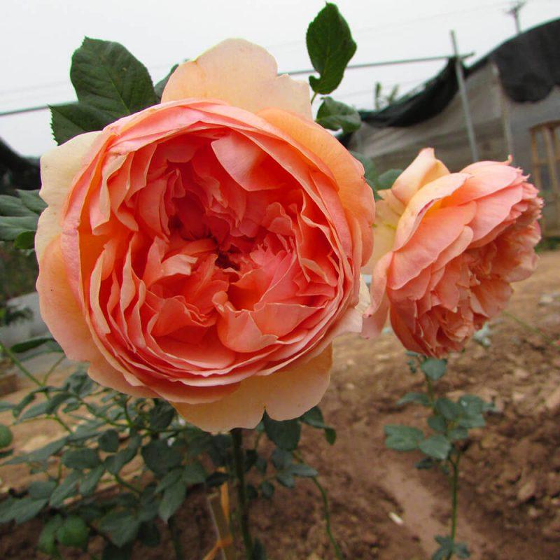 Giống hoa hồng đẹp nhất đến từ Nhật Bản