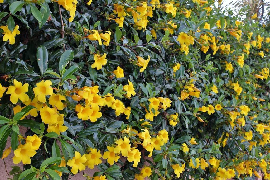 Cây huỳnh anh - cây trồng được nhiều người ưa chuộng