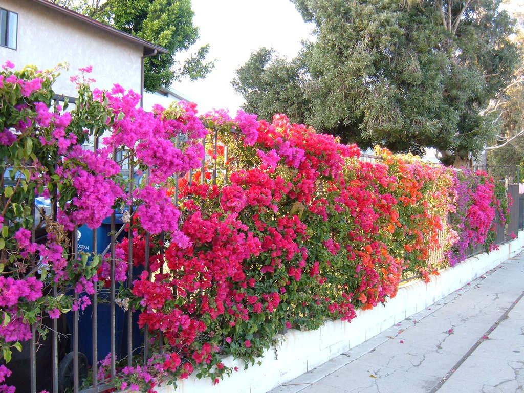 Hoa Giấy - cây trồng hàng rào nhiều màu sắc
