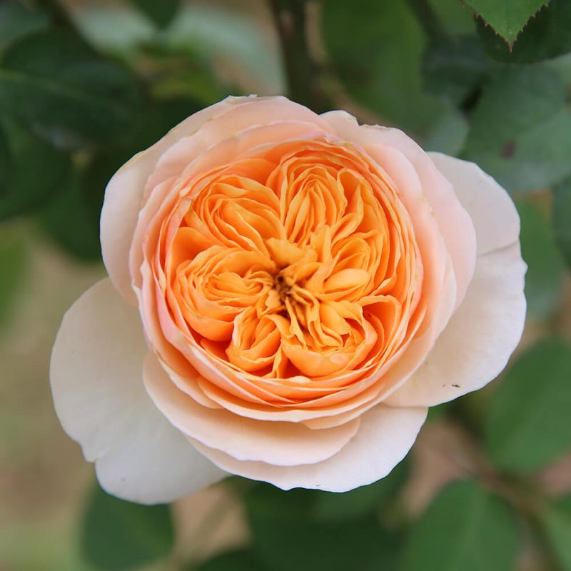 Hoa hồng Juliet - loài hoa kiều diễm bậc nhất