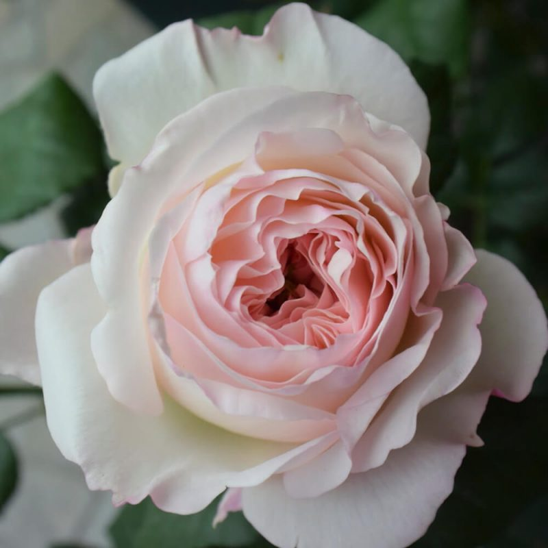 Hoa hồng Keira có trên 100 cánh hoa