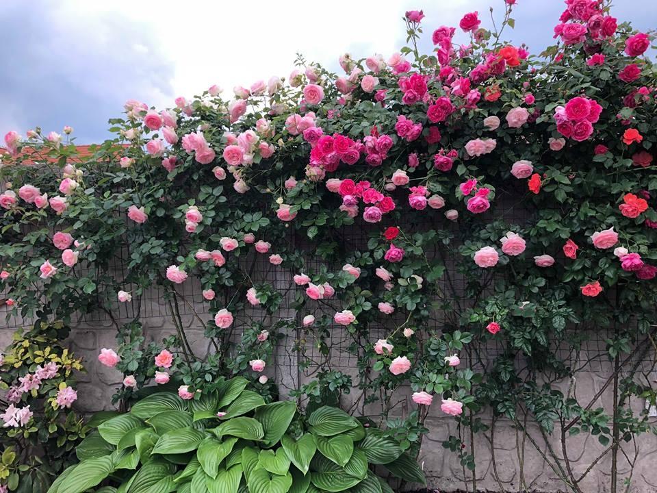 Hoa hồng leo tạo nên không gian tuyệt đẹp
