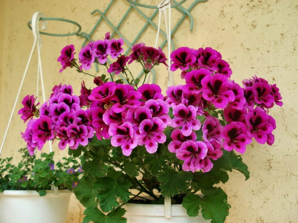 Hoa Phong lữ thảo mang hương thơm dịu nhẹ