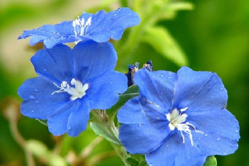 Hoa thanh tú là loại hoa trồng ban công chung cư đẹp và dế sống