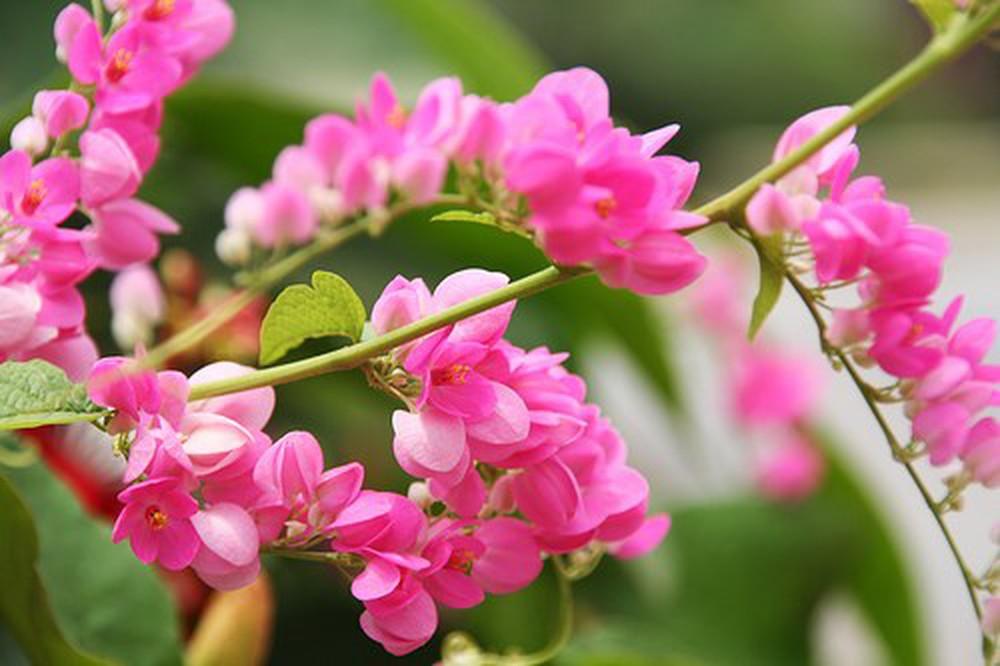 Ti gôn là một loại cây trồng hàng rào dạng cây leo thân gỗ