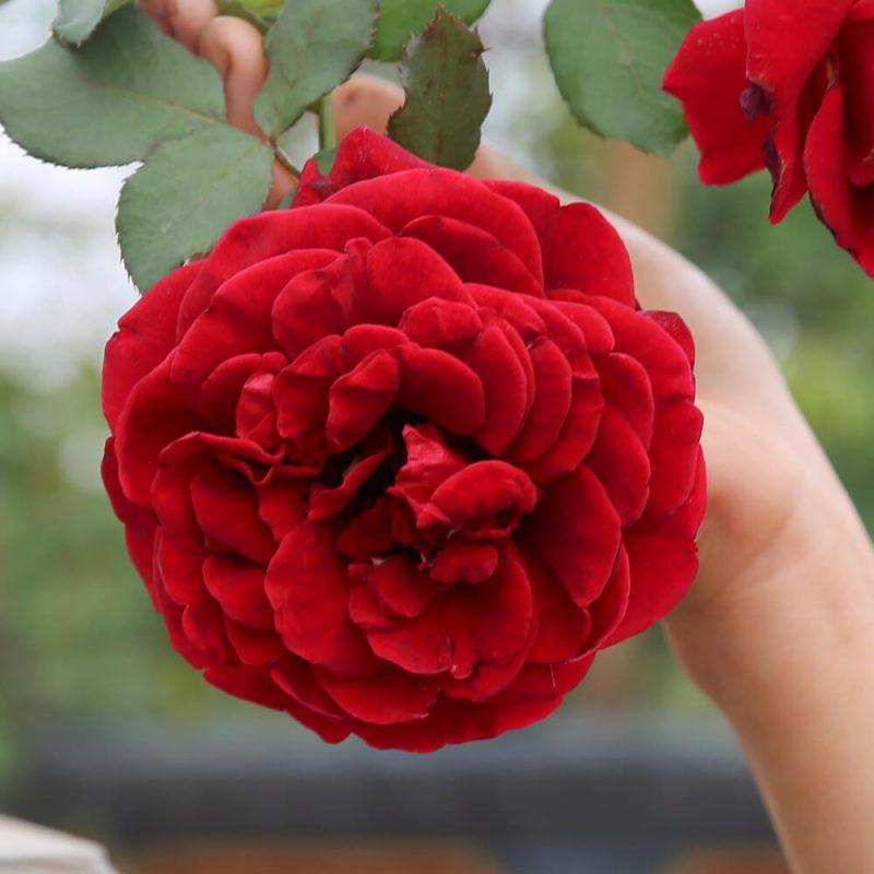 Hoa hồng cổ Sơn La - giống hoa hồng đẹp nhất Việt Nam