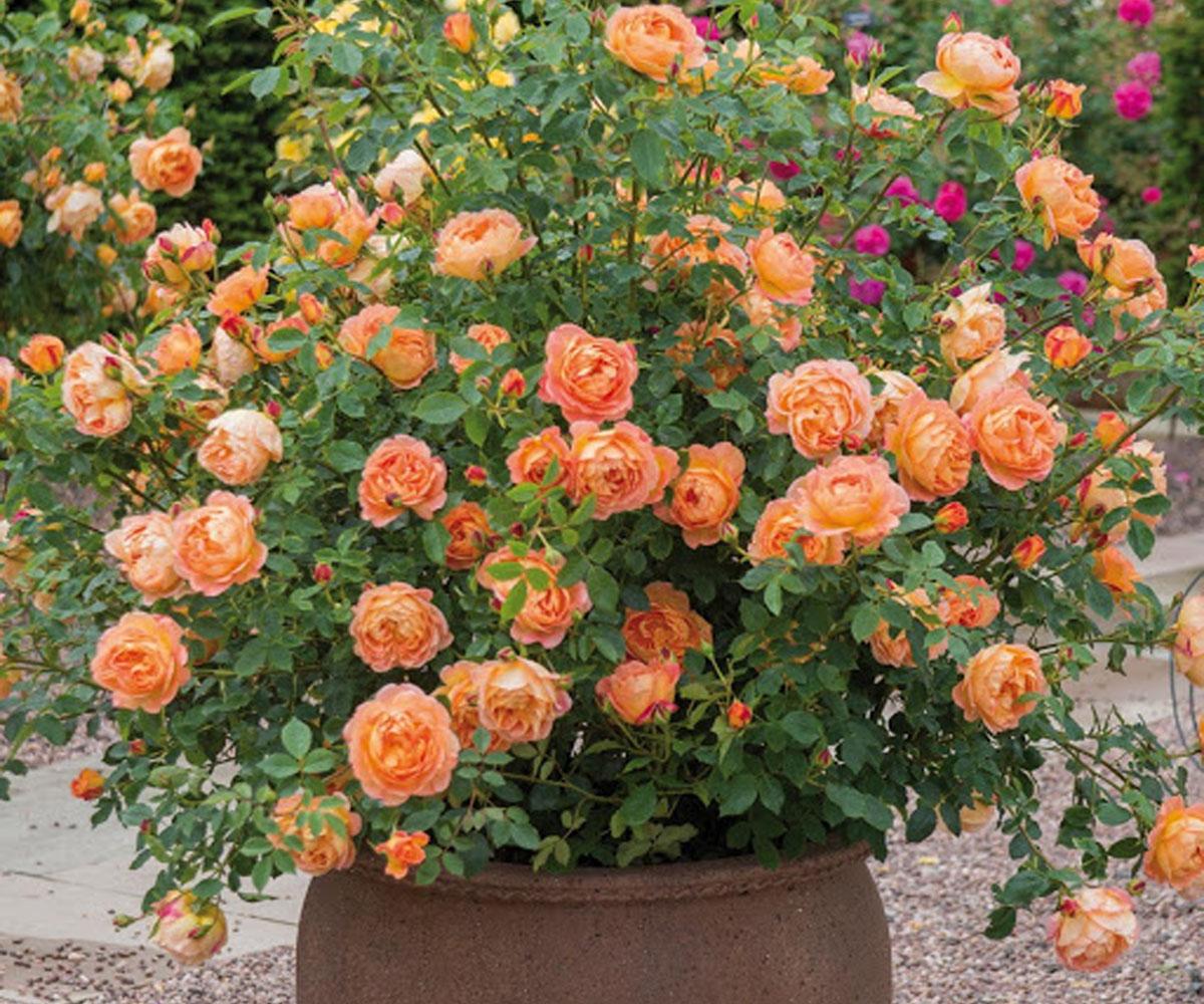 Hoa hồng leo Lady of Shalotee