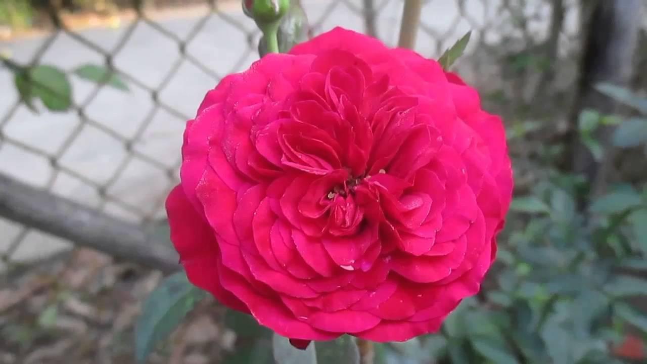 Hoa hồng leo Monalisa Rose