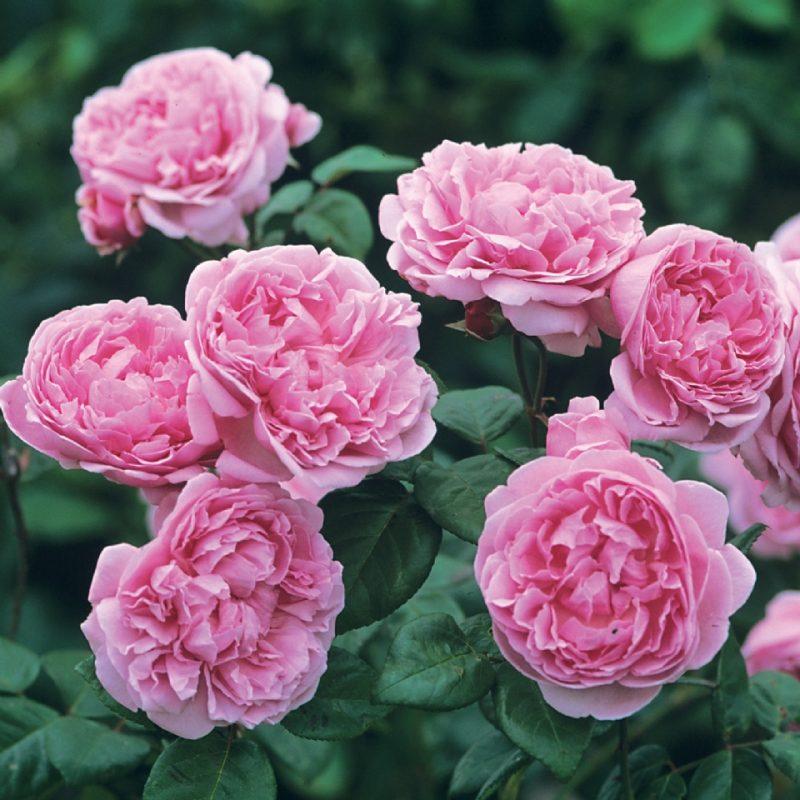 St. Ethelburga nằm trong top giống hoa hồng đẹp nhất mọi thời đại