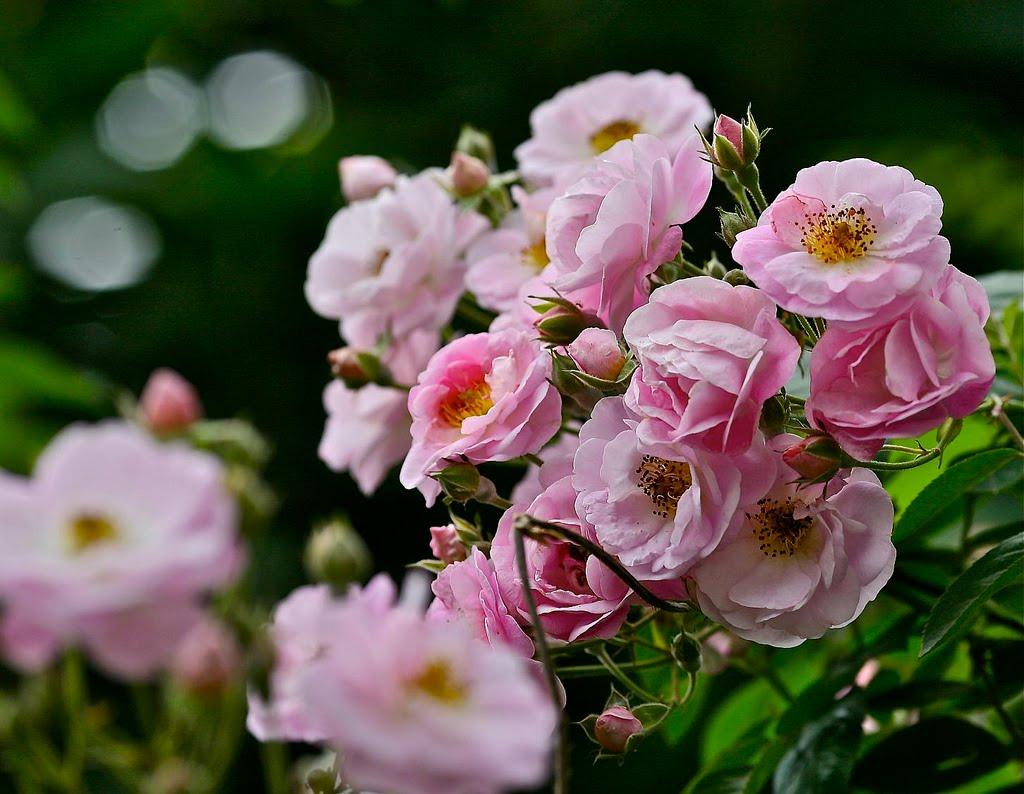 Hoa hồng Tầm xuân cánh kép