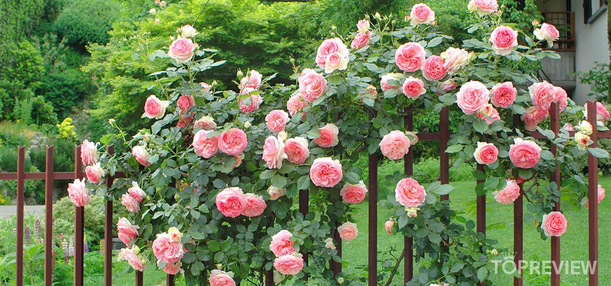Hồng leo - hoa trồng ngoài ban công hoặc hàng rào rất phổ biến