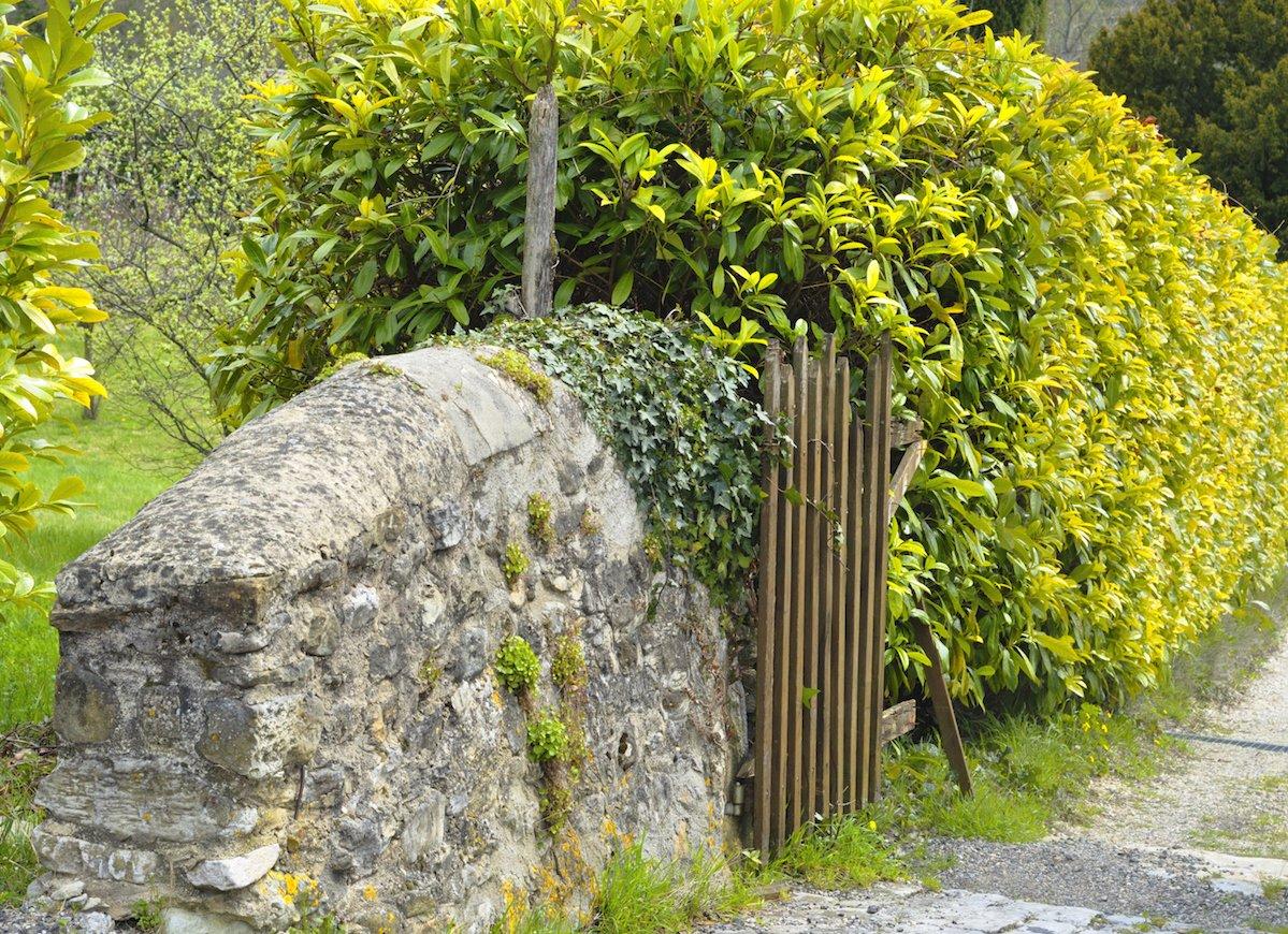 Cây chuỗi ngọc được trồng nhiều làm tường rào