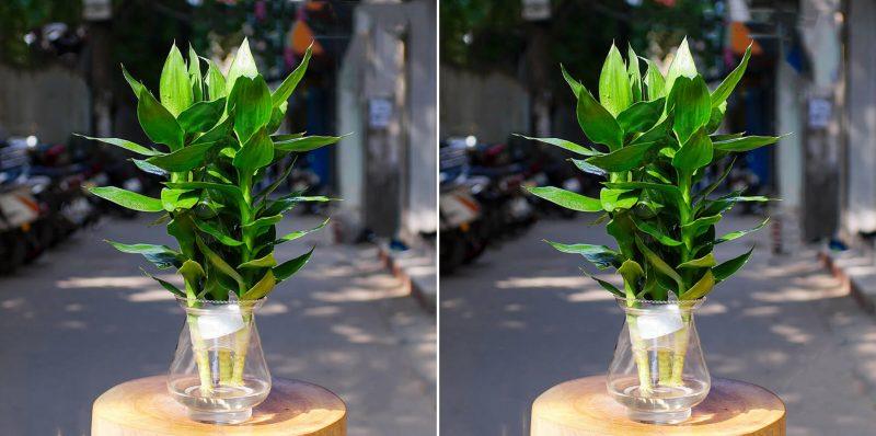 Cây phát lộc - cây cảnh thủy sinh thích hợp làm quà tân gia