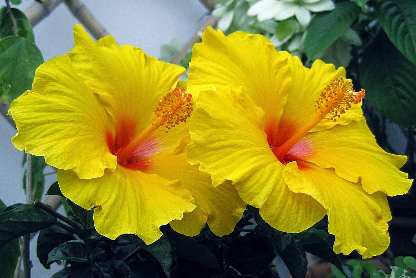 Hoa dâm bụt được lai tạo thành nhiều màu sắc lạ mắt