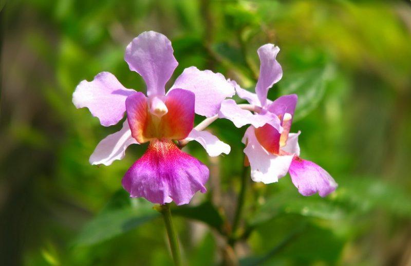 Hoa lan Vanda Miss Joaquim