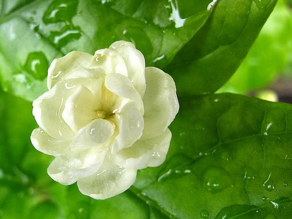 Hoa lài Ả Rập