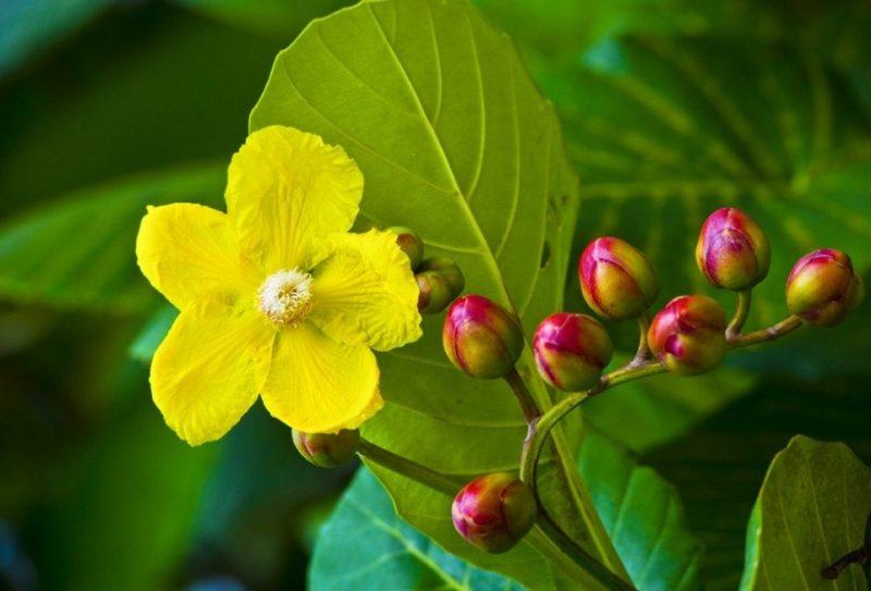 Hoa simpor