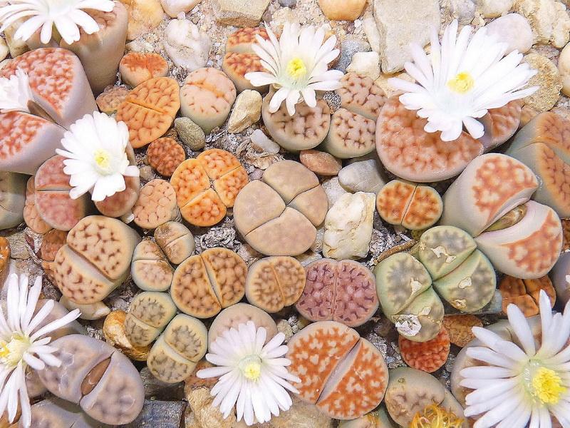 Hoa thạch lan