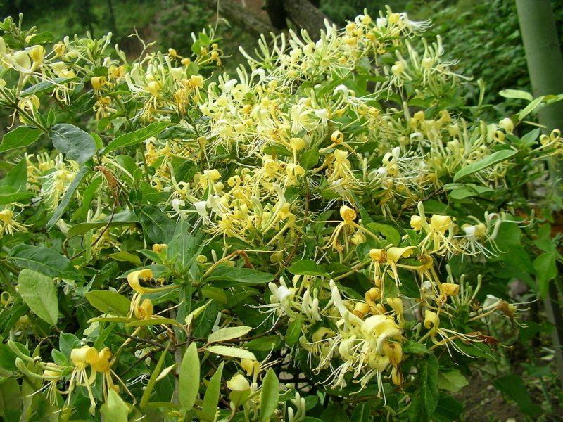 Kim ngân vừa là hoa leo trồng trong nhà vừa là thảo dược quý dùng chữa bệnh
