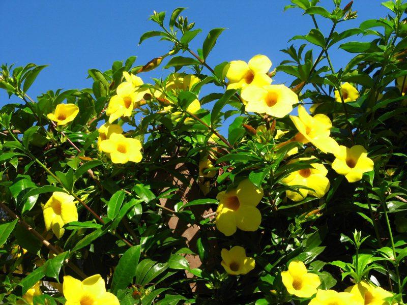 Loại hoa leo trồng trong nhà tượng trưng cho sự may mắn