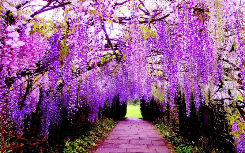 Tử đằng - hoa leo trồng trong nhà tuyệt đẹp